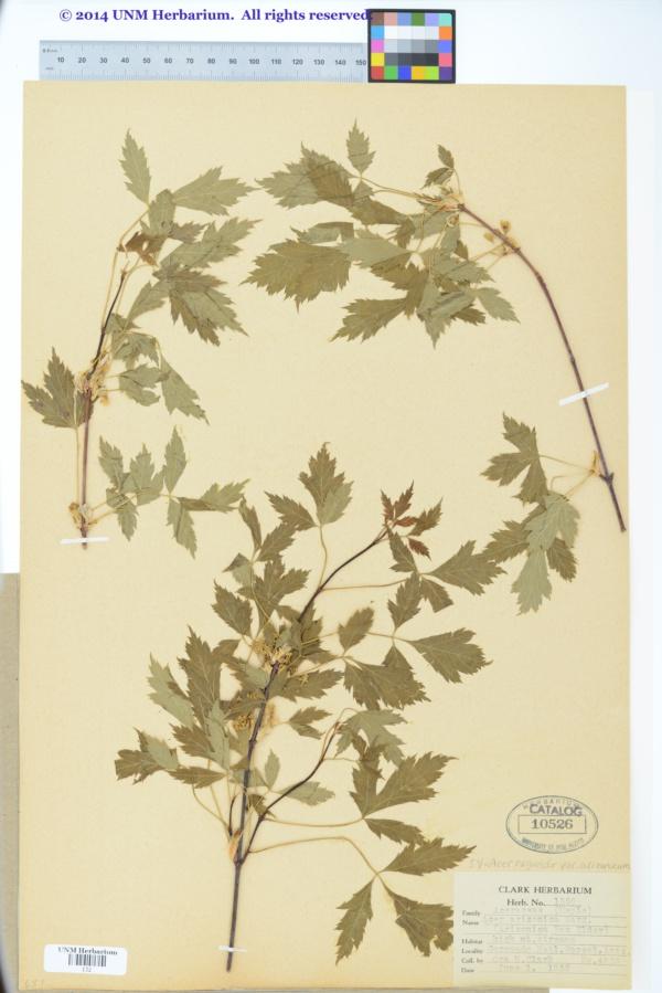 Acer negundo var. arizonicum image