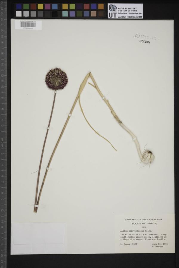 Allium atroviolaceum image