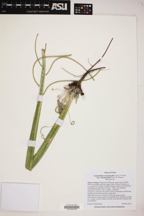 Caulanthus crassicaulis var. crassicaulis image