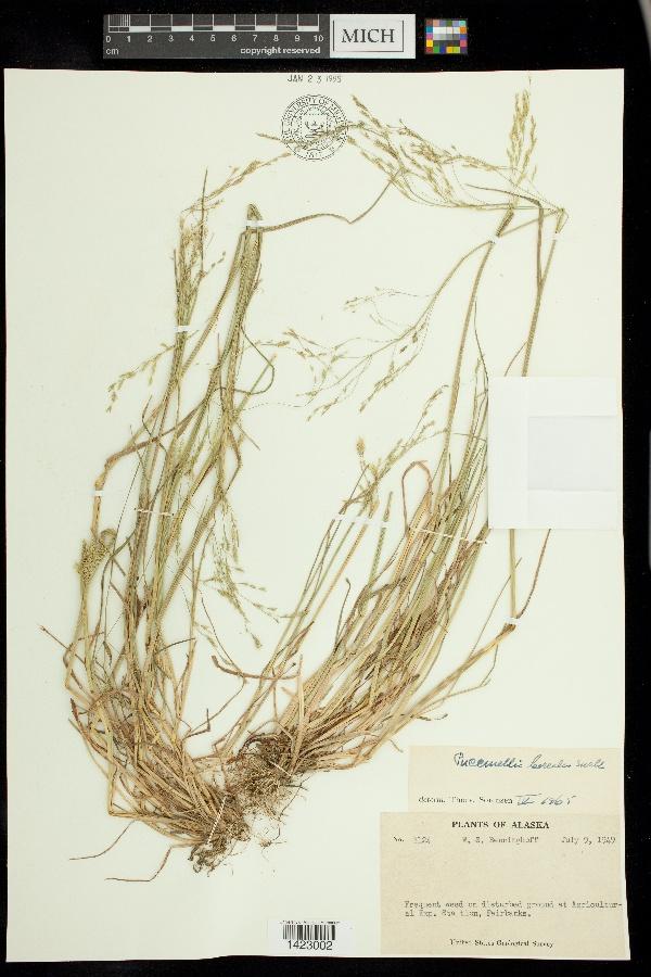 Puccinellia borealis image