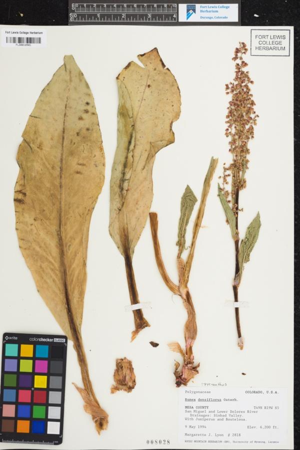 Rumex pycnanthus image