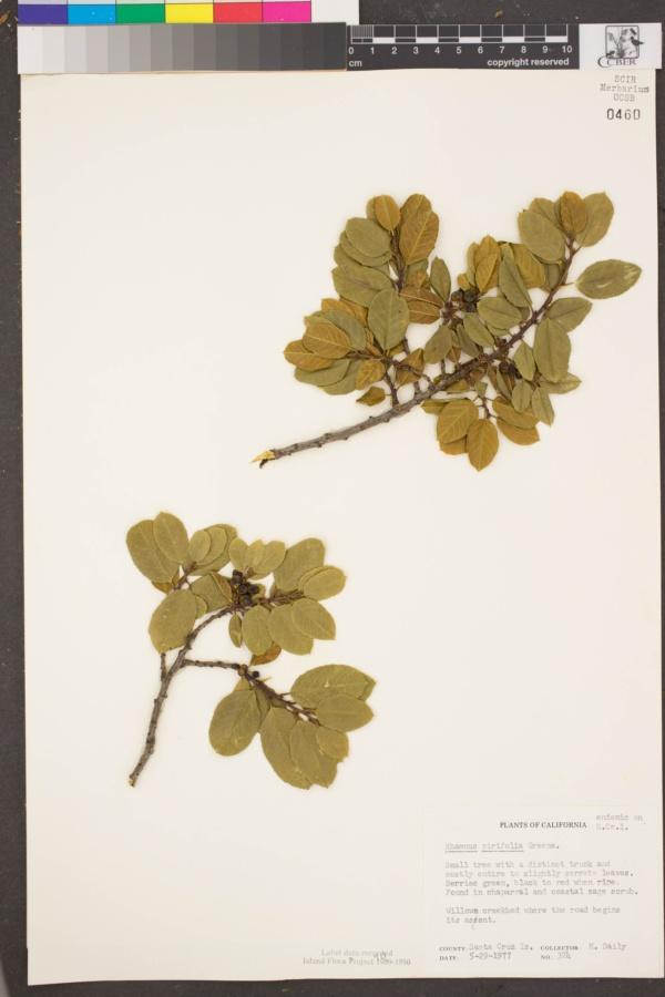 Rhamnus pirifolia image