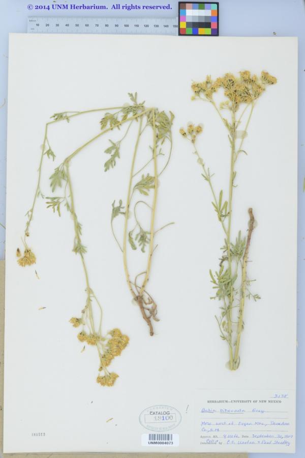 Hymenothrix biternata image