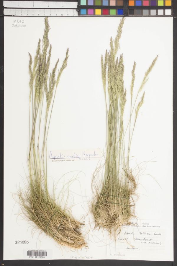 Agrostis curtisii image