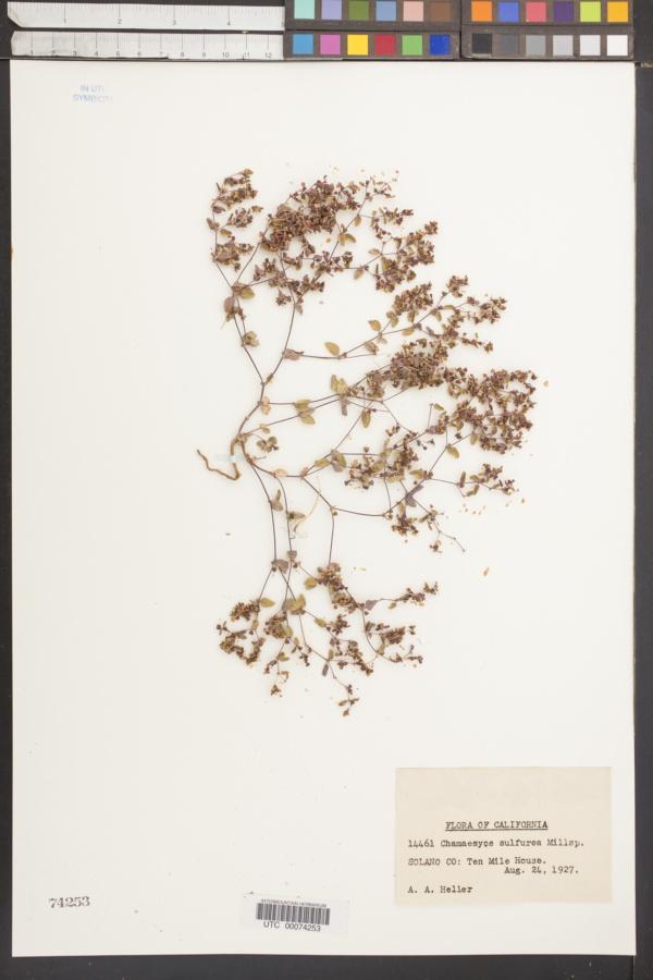 Chamaesyce sulfurea image