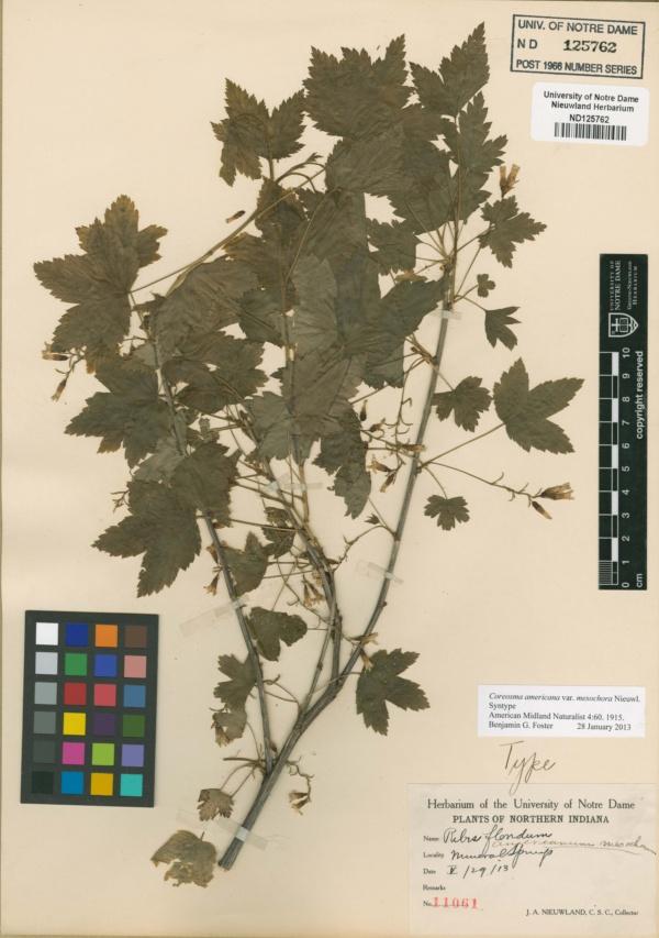 Ribes floridum image