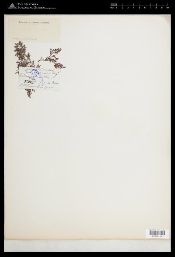 Laurencia obtusa var. gracilis image