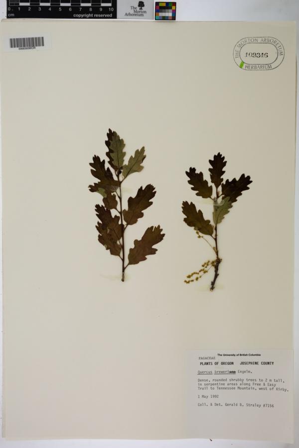 Quercus breweri image