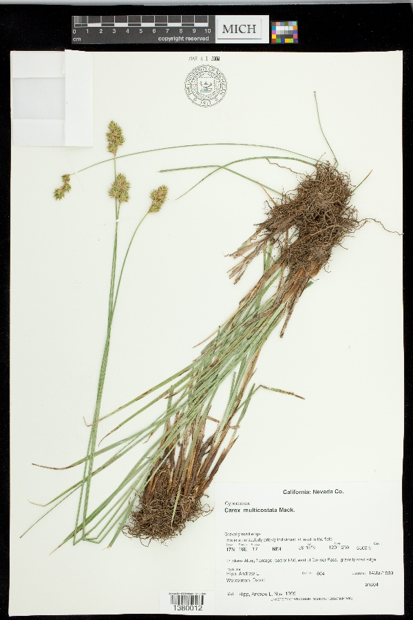 Carex multicostata image