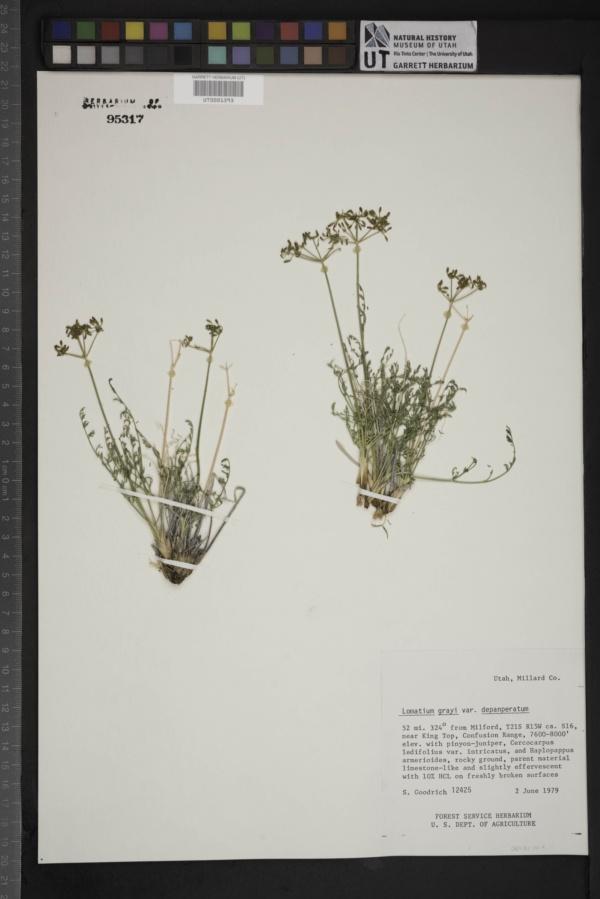 Lomatium grayi var. depauperatum image