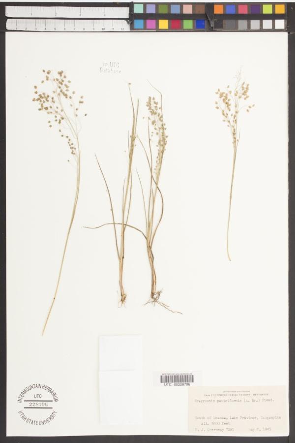 Eragrostis paniciformis image