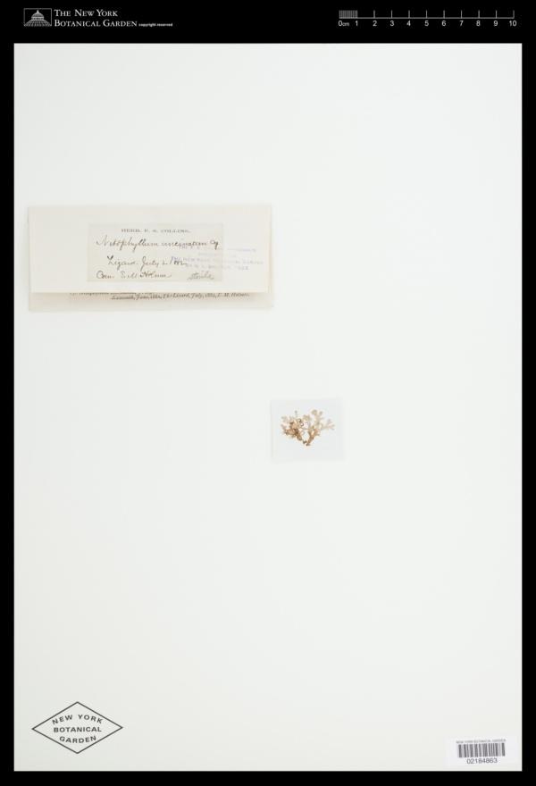 Cryptopleura ramosa image