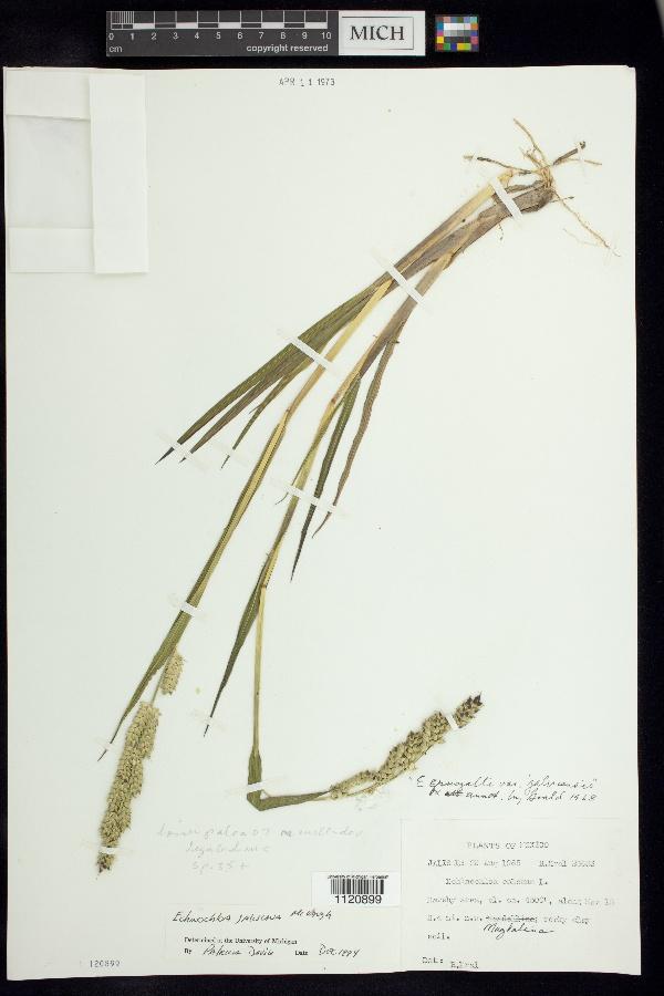 Echinochloa jaliscana image