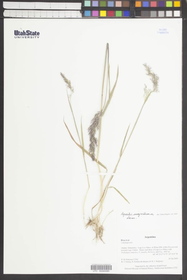 Agrostis magellanica image