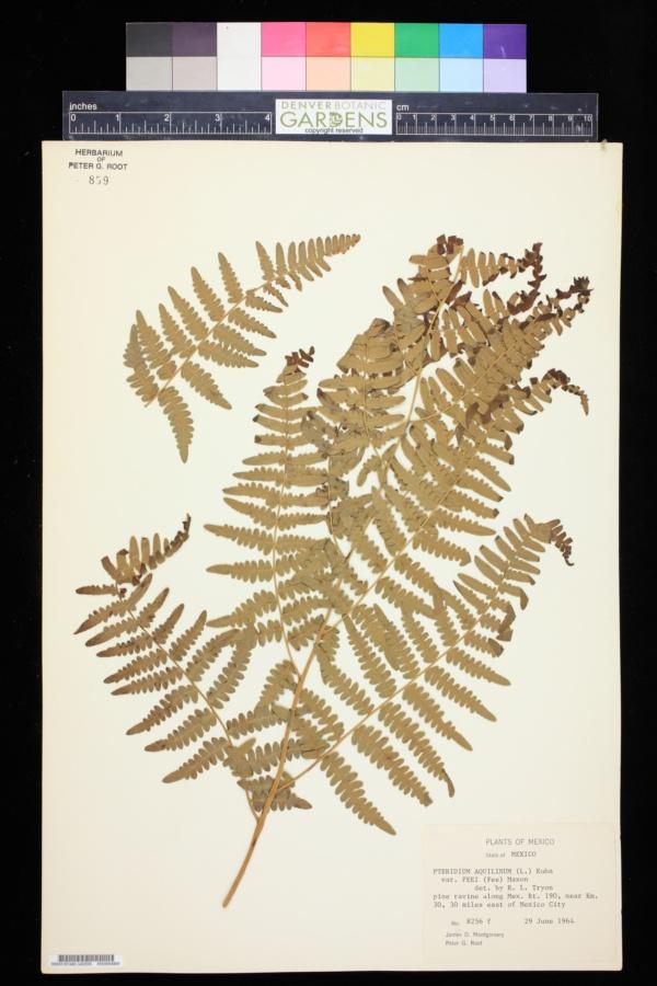Pteridium aquilinum var. feei image