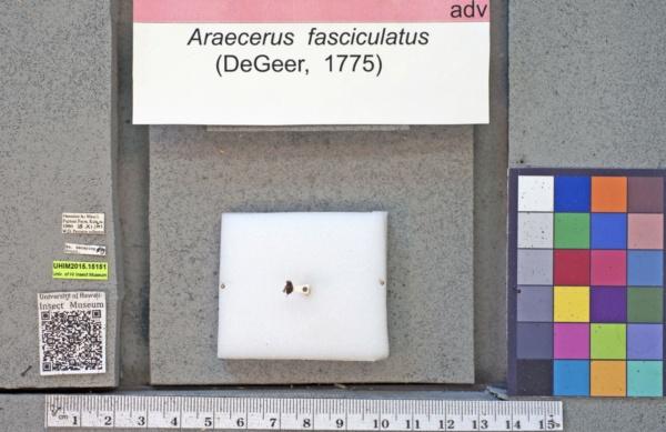 Araecerus fasciculatus image