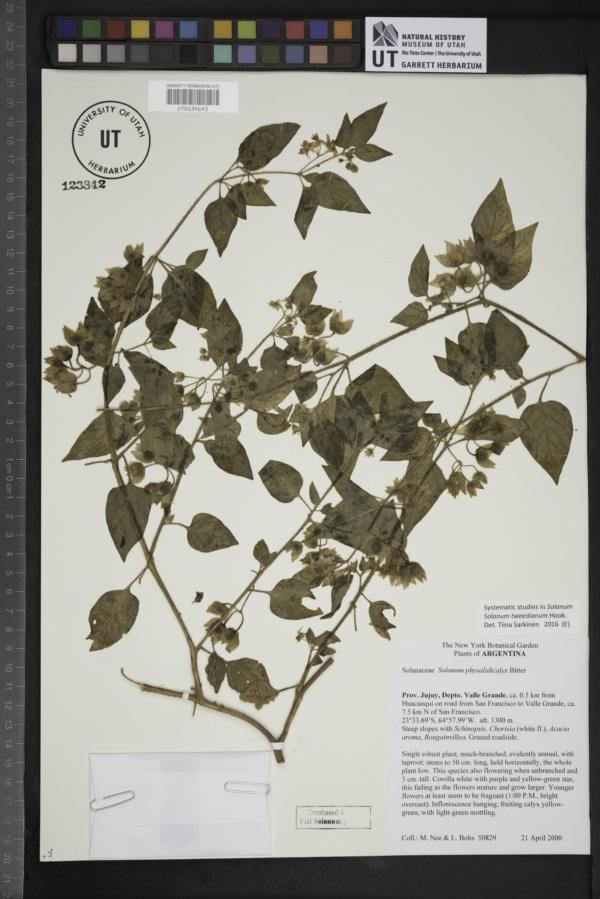 Solanum tweedianum image