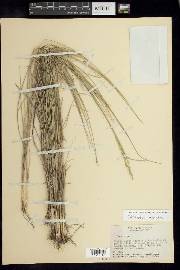 Piptochaetium angustifolium image