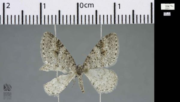 Venusia duodecemlineata image