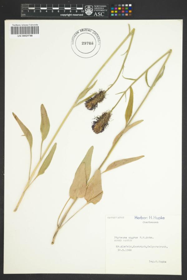 Phyteuma nigrum image