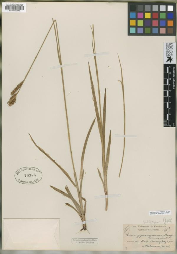 Carex gynodynama image