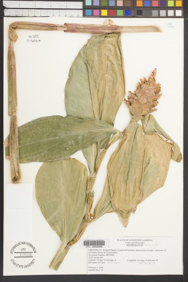 Costus curvibracteatus image