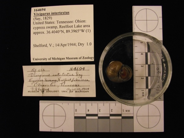 Lampsilis cardium image