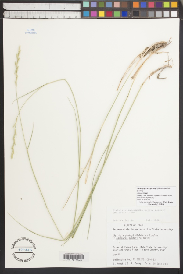 Thinopyrum gentryi image