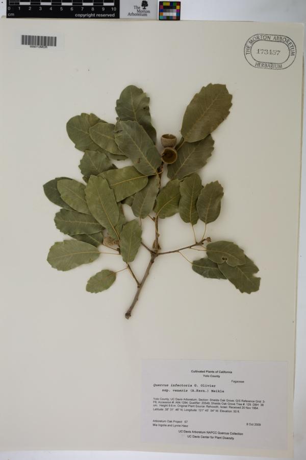 Quercus infectoria subsp. veneris image