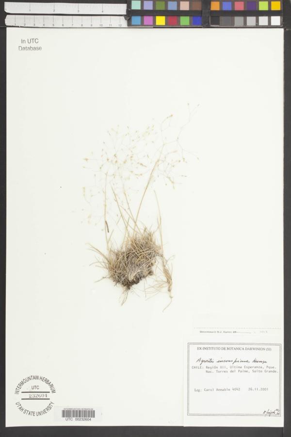 Agrostis inconspicua image