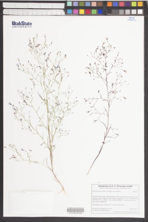 Gilia leptalea subsp. leptalea image