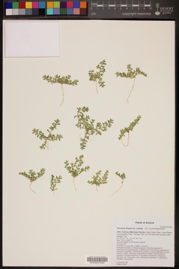 Herniaria hirsuta var. cinerea image