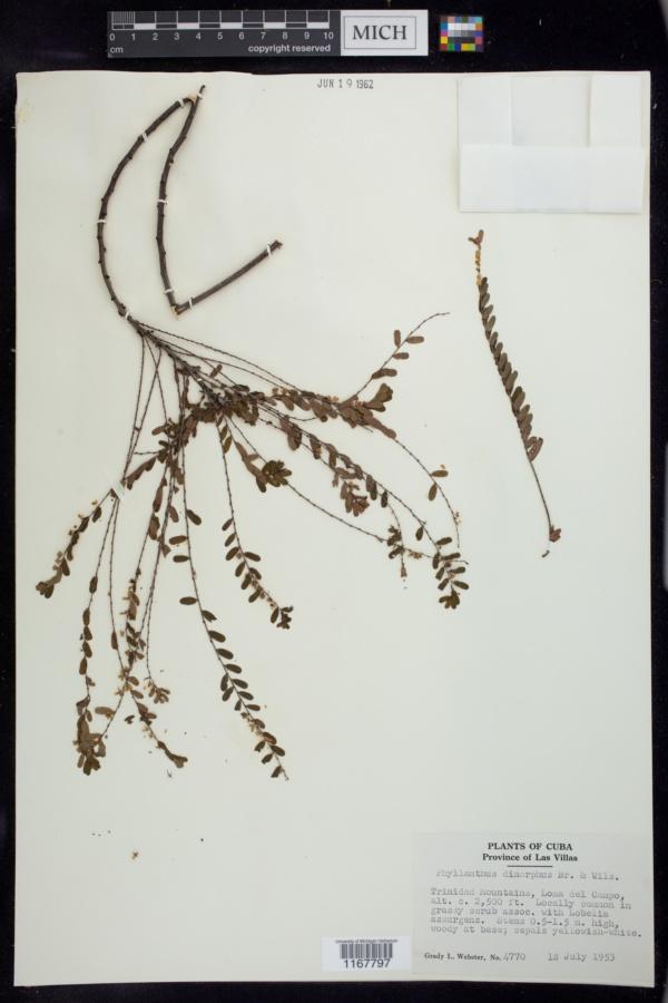 Phyllanthus dimorphus image
