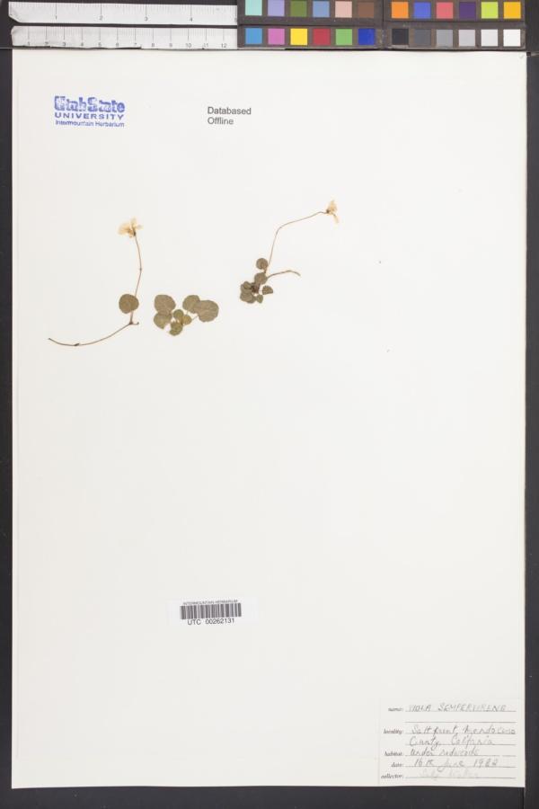Viola sempervirens image