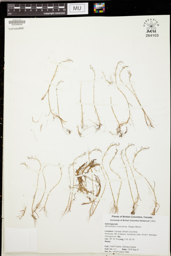 Myriophyllum ussuriense image