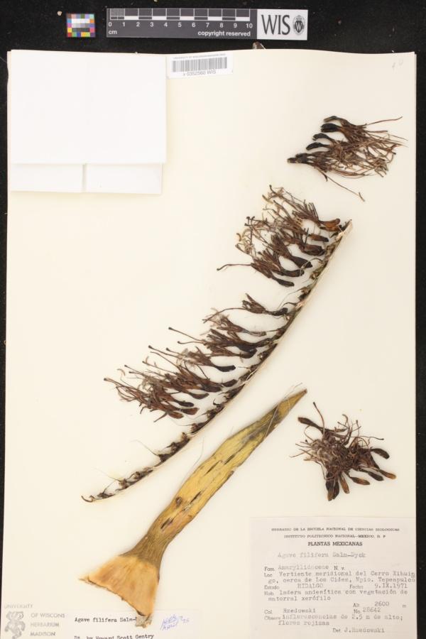 Agave filifera image