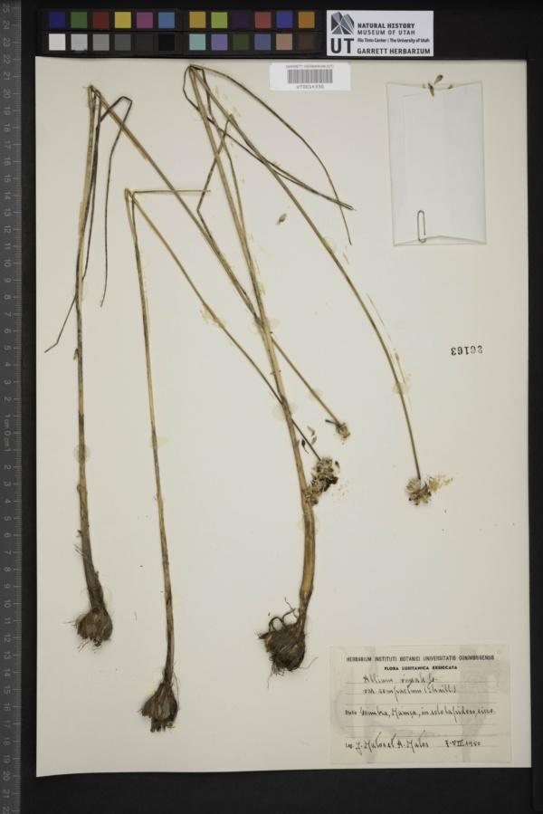 Allium vineale var. compactum image
