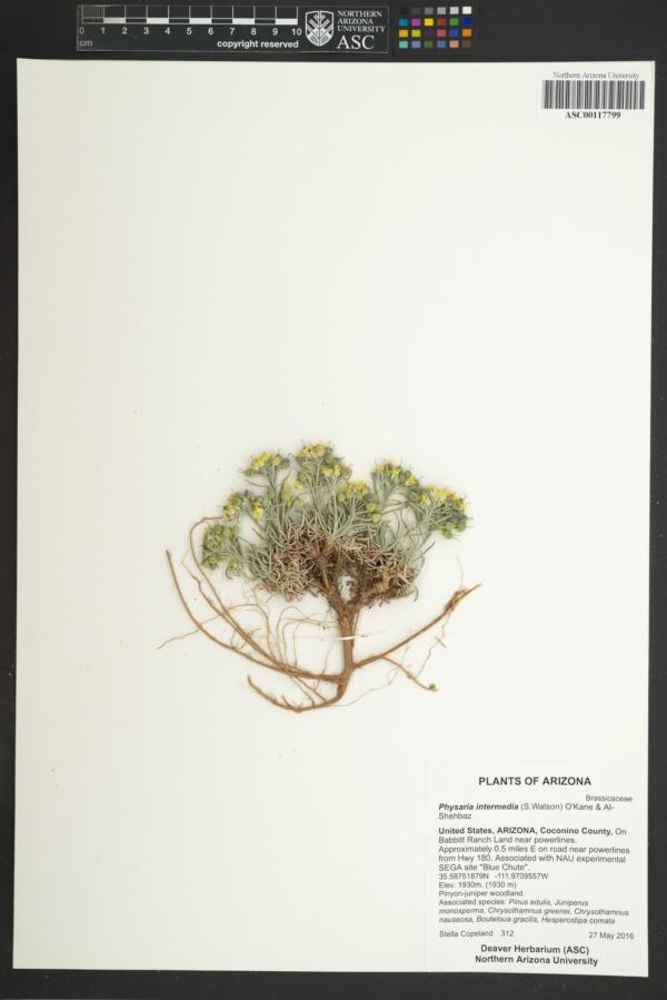 Physaria intermedia image