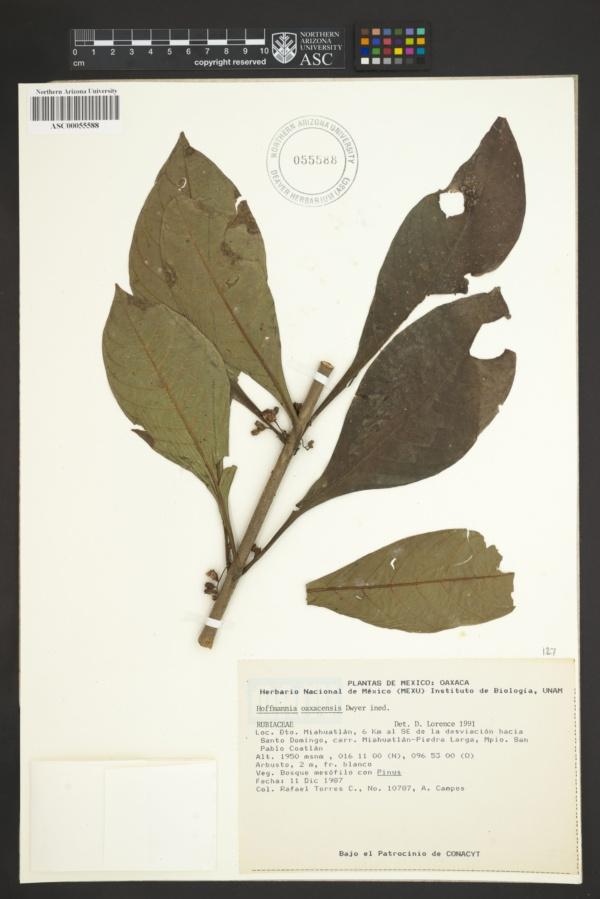 Hoffmannia oaxacensis image