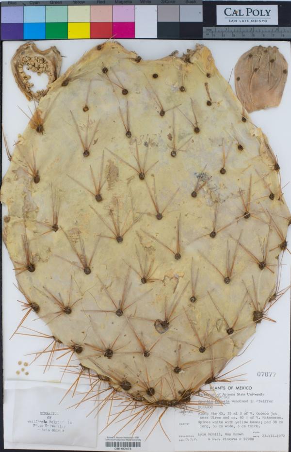 Opuntia robusta image