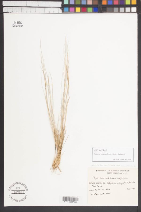 Nassella curamalalensis image
