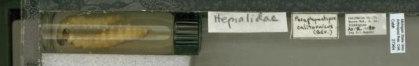 Hepialidae image