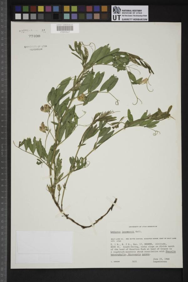Lathyrus lanzwertii image