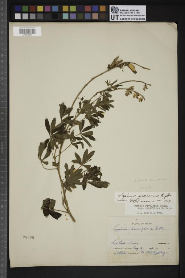 Lupinus sericeus var. marianus image