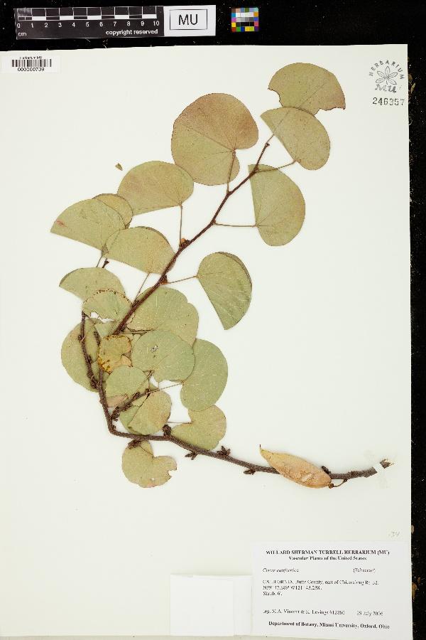 Cercis californica image