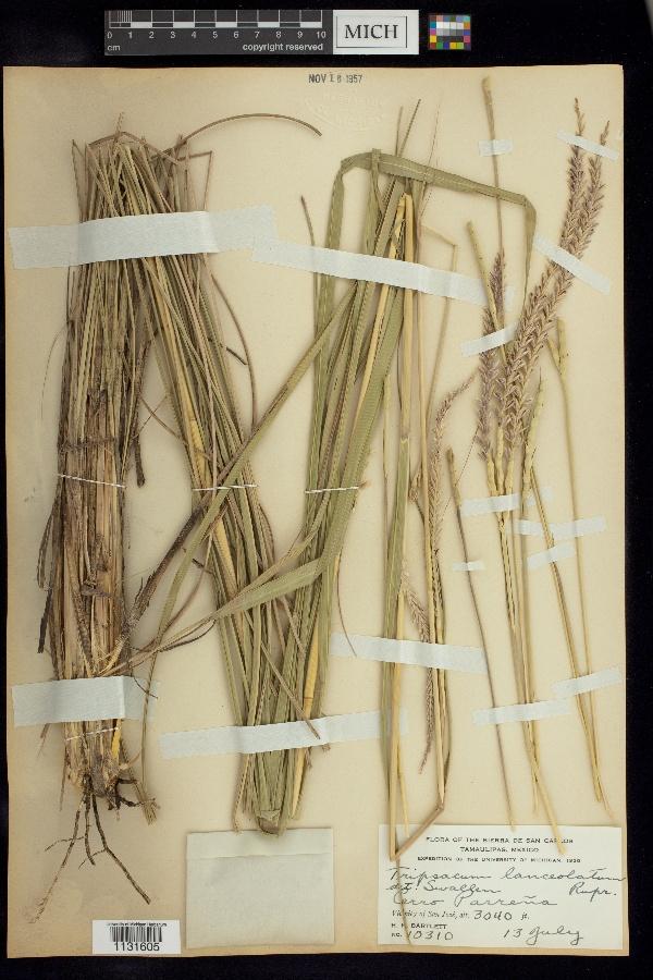 Tripsacum lanceolatum image