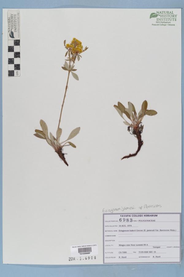 Eriogonum jamesii var. flavescens image