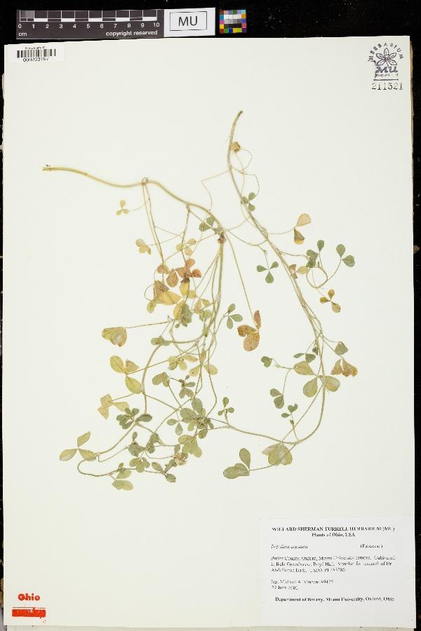 Trifolium argutum image