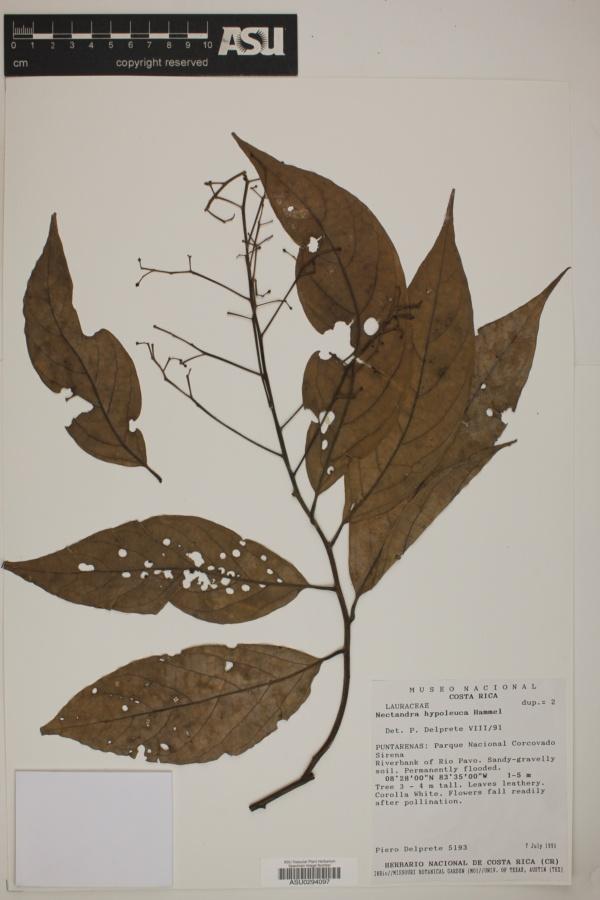 Nectandra hypoleuca image