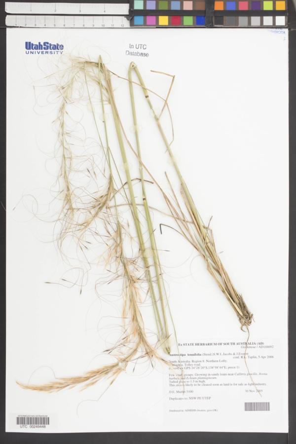 Austrostipa tenuifolia image